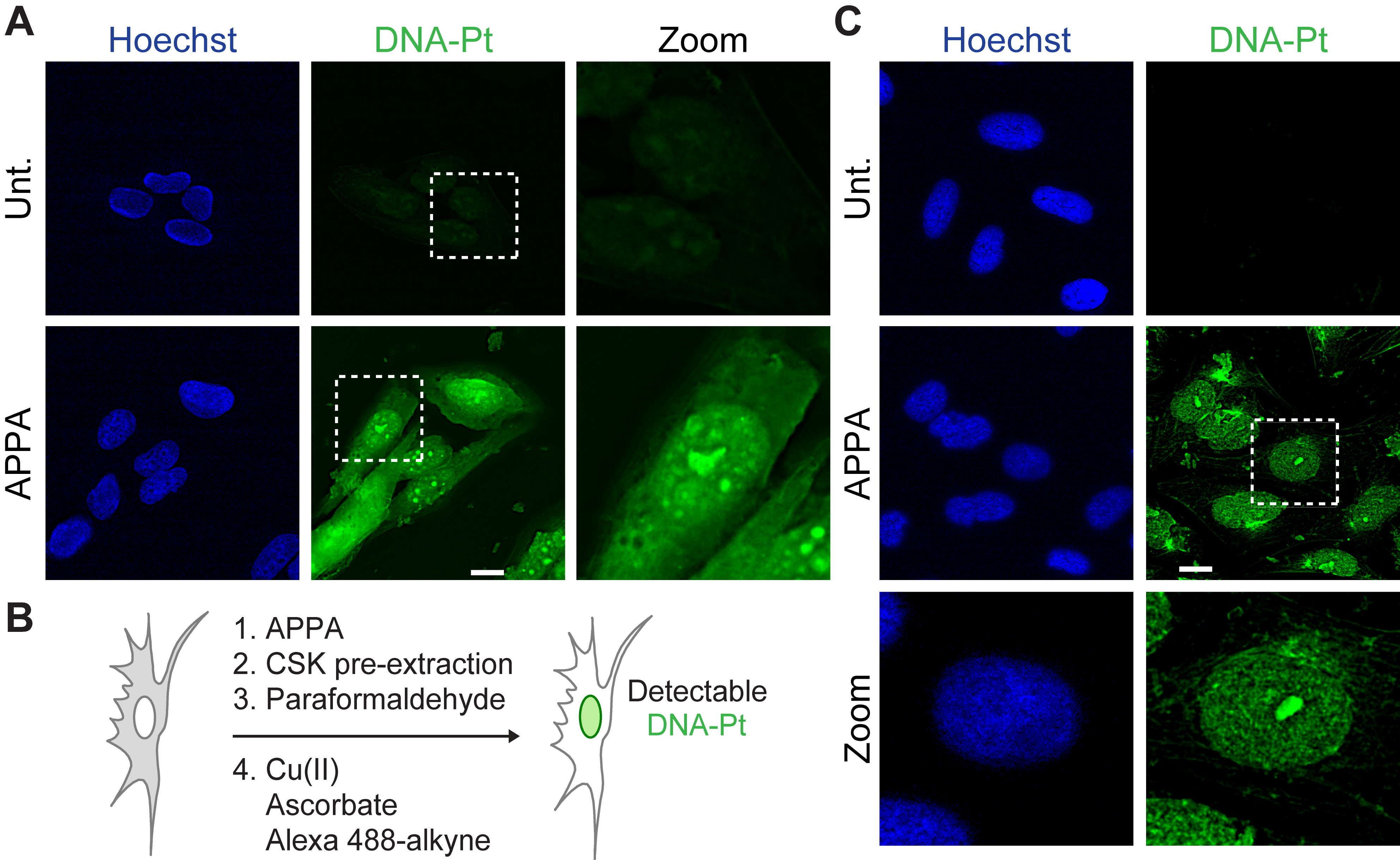 A) Detection of labeled DNA-Pt in U2OS cells. B) Schematic representation of a strategy for enhancing the detection of DNA-Pt in cells. C) Detection of labeled DNA-Pt in U2OS cells subjected to pre-extraction. Cells were treated with APPA (250 mm for 3 h). Zoomed images are 3x . Scale bar, 20 μm. Unt., untreated.