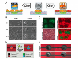 Figure 1 : Our most recent innovation in cell micropatterning allows dynamic control of cell spreading (B), cell shape (D, E) and cell co-culture (C), using simple click-chemistry (A), see Van Dongen et al., Advanced Materials, 2013