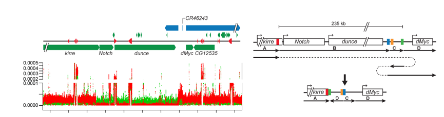 Figure 3: We use whole-genome deep sequencing approaches to define molecular events occurring during aging in stem cells. An example of whole-genome sequencing of a neoplasia (red) and its control (green) showing large scale rearrangement of the Notch locus.