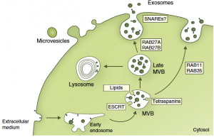Figure 1 : Cells release various vesicles, using different intracellular machineries. Kowal, Tkach and Théry, Curr Op Cell Biol 2014.