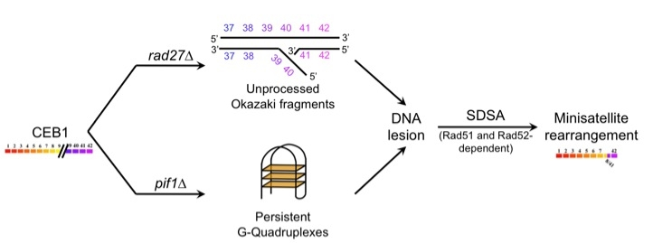 Figure 2: Genetic control and mechanisms of minisatellite rearrangements.