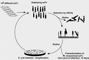 Figure 2: Selection of antibodies in vitro by Antibody Phage Display