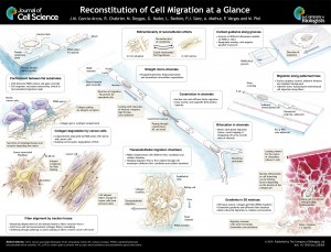 cell migration microchannels