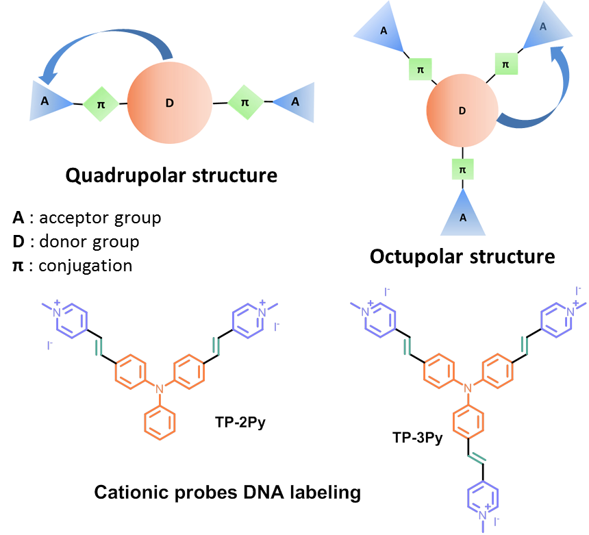 Structures of TP, photophysical properties in DNA