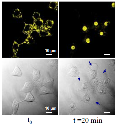 Living MCF7 cells pre-treated with TP2Py were exposed to two-photon illumination.