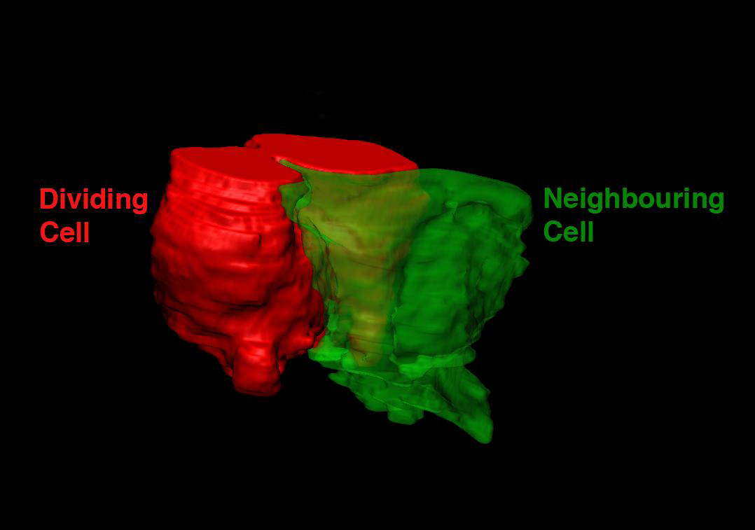 Caption: 3D reconstruction of a dividing cell (red) pulling on its neighbor (green) during epithelial cytokinesis.