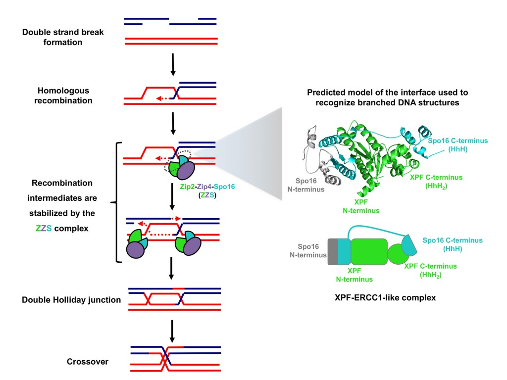 To repair DNA double-strand breaks and generate the crossovers, essential for homologous chromosomes segregation, meiotic cells use a specific complex, called ZZS, that contains a structural module recognizing and binding branched DNA structures. This stabilizes the recombination intermediates and ensures their resolution as a crossover.