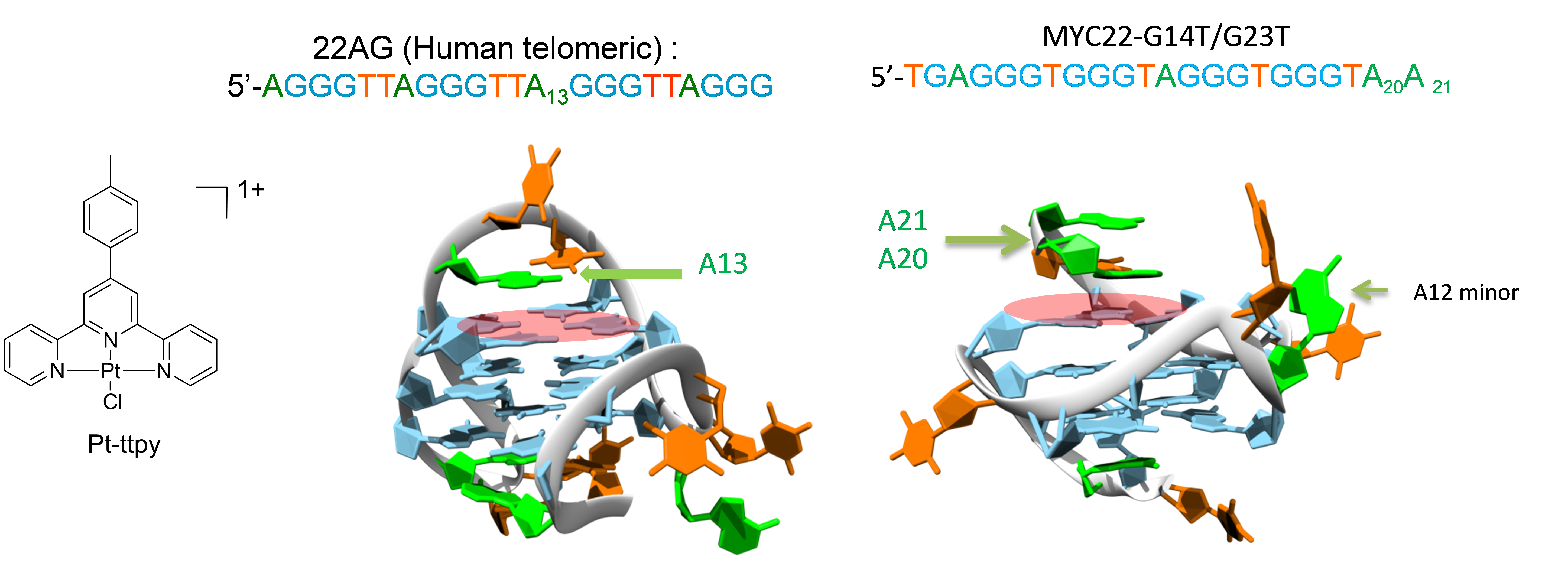Structure of the tolyterpyridine Pt(II) derivative Pt-ttPy and representation of the platination of adenine residues surrounding the top quartet in the telomeric (22AG) and the modified oncogene c-myc (myc22) quadruplex forming sequences ( bound Pt-ttpy in pink).