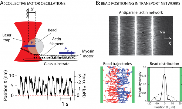 Figure 3: A: Spontaneous oscillations of a 1-µm bead attached to a single actin filament interacting with myosin motor molecules immobilized on a glass substrate. The bead is subjected to an elastic restoring force F exerted by a laser trap that opposes the active force Fa produced by the motors (Plaçais et al, 2009). B: Active transport of 200-nm beads coated with heavy meromyosin-II motors in antiparallel networks of actin filaments. The beads move toward the center of the network, from left to right (red trajectories) or from right to left (blue trajectories), where they accumulate: the bead distribution is nearly flat when the beads are first detected (dashed line) but shows a sharp peak at steady state (solid line) (Richard et al, 2019).