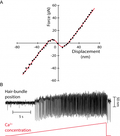 """Figure 2: A: Force-displacement relation of an oscillatory hair bundle. The hair bundle displays a region of """"negative stiffness"""" in the central region of the curve (Martin et al, 2000). The hair bundle cannot rest stably at the corresponding positions. A: From quiescence to spontaneous oscillations with Ca2+ iontophoresis. When the Ca2+ concentration is raised above a threshold value, we observe an oscillatory instability or Hopf bifurcation; in the oscillatory regime, the oscillation frequency increases withthe calcium concentration (Tinevez et al, 2007)."""